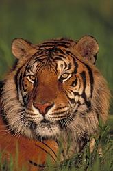 bengal-tiger-4889