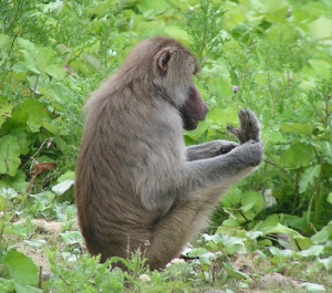 monkey-counts-toes1