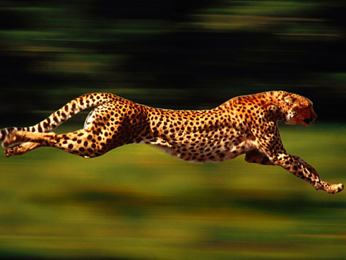 how fast do cheetahs run mathspig blog