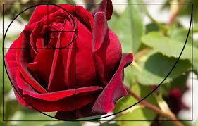 4 fibonacci rose