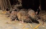 pic 15 rat