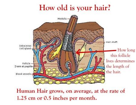 2 Hair follicle